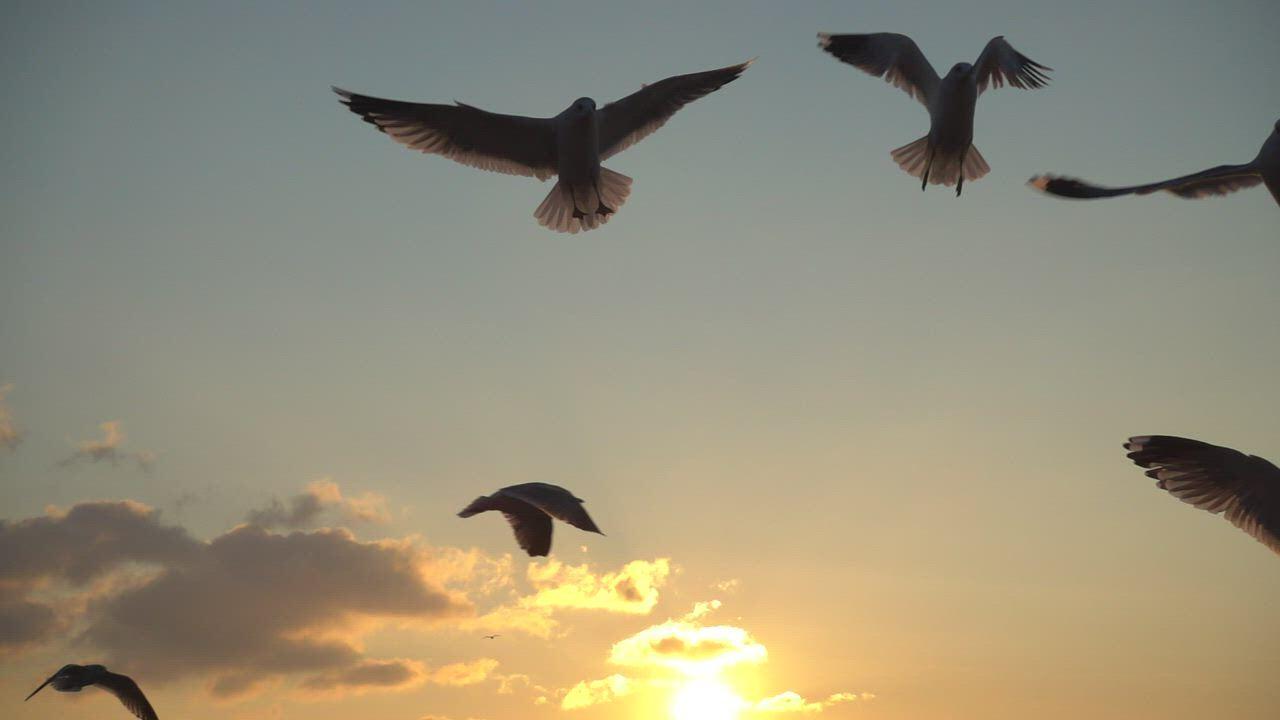 海鸥视频素材 傍晚天空海鸥慢镜头视频素材-MOGRT